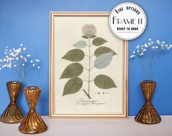 Vintage illustration of Hydrangea -framed fine art print, botanical art, home decor, 8x10, 11x14 FREE SHIPPING 47