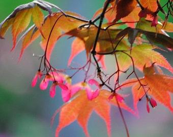 Japanese Maple Rainbow 2