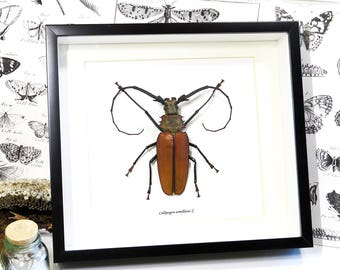 Non CITES taxidermy longhorn beetle framed Callipogon armillatus XL BGCA
