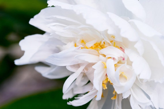 White Peony, Still Life Print, Nature, Flower Art, Peonies Print, Home Decor Art, Pastel Art, Girls Room Photography, Botanical Photo