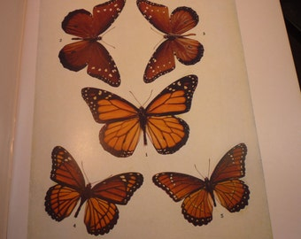 Butterflies - Gorgeous Brown and Orange spotted  - 1945 color plate - vibrant color prints - Natural world framable W J Holland