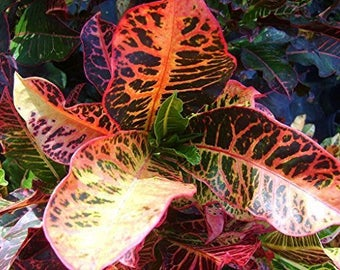 BRAVO Tropical Broadleaf Croton Live Plant Colorful Red Yellow Green Coral Leaves Indoor or Outdoor Starter Size 4 Inch Pot Emerald TM
