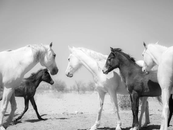 KALAHARI ARABS 2. Horse Print, Equine Photography, Black and White Print, Animal Print, Arab Horses, Limited Edition Print