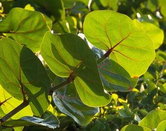 Fresh SeaGrape Sea Grape Organic 40 Large Leaves No chemical pesticide