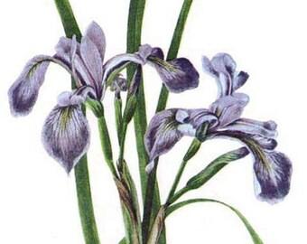 Blue Flag Iris Flower 1950s Vintage Cottage Botanical Lithograph Art Print To Frame 64