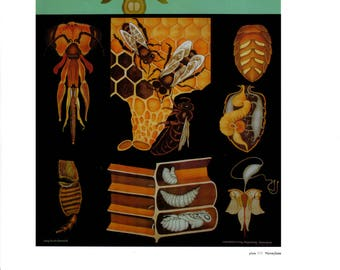 """Vintage Educational Chart Poster Print, Item 5352 Zoology Picture Art, Honeybee  14"""" x 11"""""""