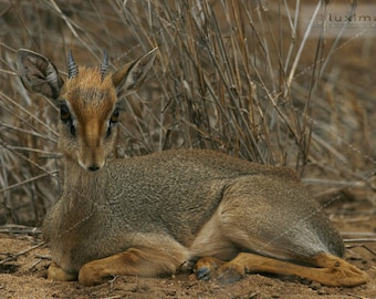 Kenya Safari, Kirk's Dik Dik Animal Wildlife Print Photograph, Wall Decor