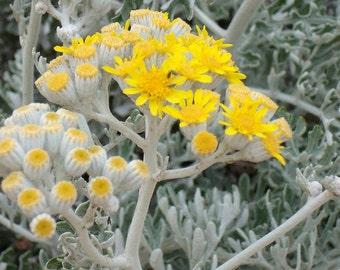 Dusty Miller - Silver Dust - starter live plant - Jacobaea Maritima