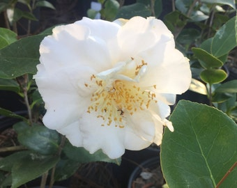 Camellia japonica White Masterpiece Japanese Camelia Nursery Gallon Plant