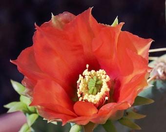 Scarlet Hedgehog Cactus flower