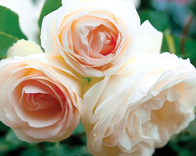 White Eden ® Climbing Rose Bush 100+ Petals Hardy Own Root Climber Plant Organic Grown Potted - Repeat Blooming! SPRING SHIPPING