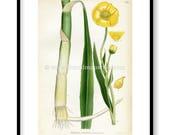1922 Greater Spearwort, W...