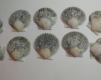 Genuine Scallop Shells - From Crystal River, FLorida - Freshly Caught by me - Shells - Seashells - Grey Seashells - 10 Natural Shells  #100