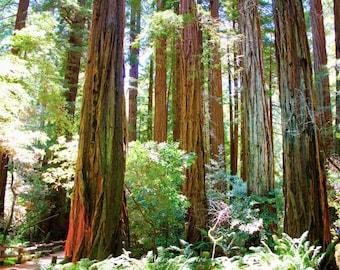 California Redwood Giants, Muir Woods National Monument, California