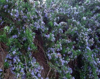 Cascade Rosemary Plant - Creeping/Trailing - Outstanding for Culinary - Quart Pot