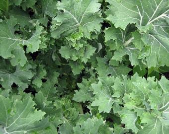 Siberian Kale- Heirloom Organic Variety- 500+ Seeds
