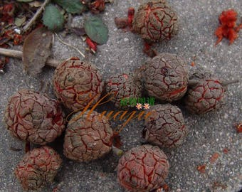 3 Wild CHE plant cuttings, (Cudrania Tricuspidata, chinese mulberry) no roots