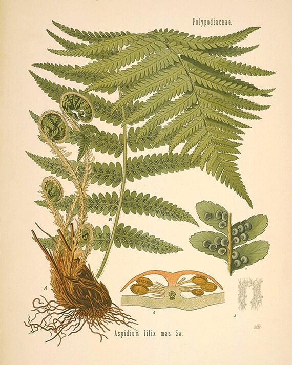 Fern art antique fern print botanical art prints Vintage