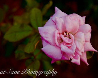 Pink Rose, Photography, Home Decor