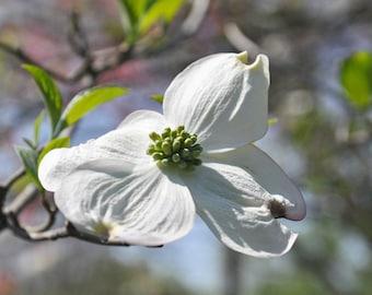 White Dogwood in bloom photograph, Dogwood blossom picture, dogwood flower art