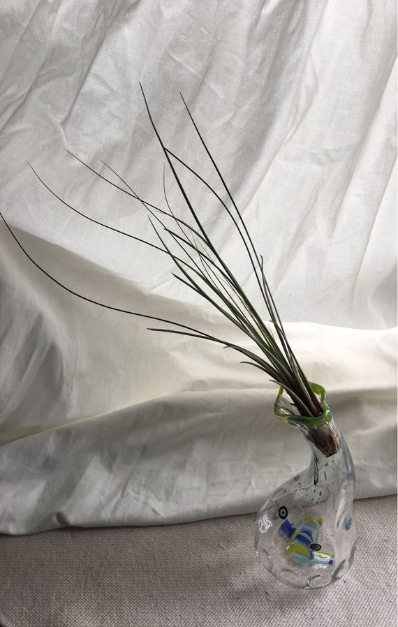 Hand blown glass jellyfish vase with living air plant , bromeliad