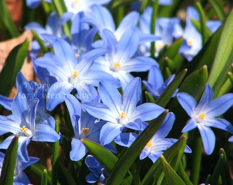 Spring Flower Photography Glory of the Snow Blue Flowers botanical fine art nature photo bright blue green floral wall decor 5x7 8x10