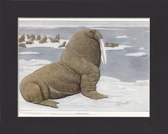 Pacific Walrus 1916 Print by Louis Agassiz Fuertes  Original Vintage Mounted  Print Pacific Walrus Picture Vintage Walrus Print