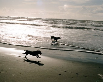 Parallel dogs in the surf, color photograph