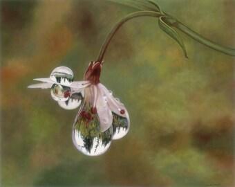 Reflection of Pine Trees, dew drop, fine art giclee reproduction, garden,flower, Glenda Okiev