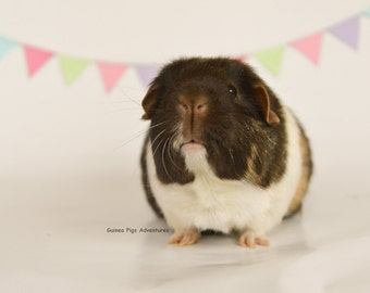 Guinea pig photoshoot party flag