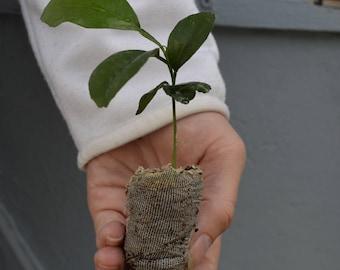 TreesAgain Honey Tangerine Tree - Citrus reticulata 'Murcott' - starter plugs