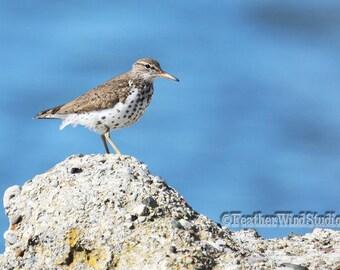 Spotted Sandpiper Photo | Shorebird Photography | Bird on Rock Wall Art | Plover Pic | Bird Watcher | Feather Wind Studio | Sand Piper Print