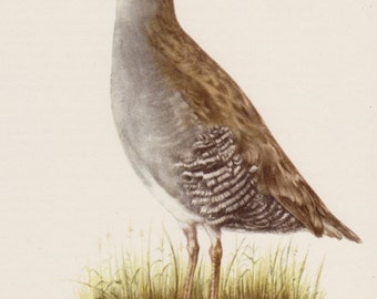 Vintage Bird Art Print Bird Wall Art Lake House or Cabin Decor Water Rail Bird Print Animal Print Gift for Bird Lover 973