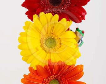 Three Gerber Daisies and Tree Frog, Gerber Daisy, Pretty Flowers, Red Yellow Orange