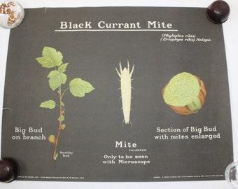 Vintage 1950s large original poster wall chart British insects entomology natural history taxidermy