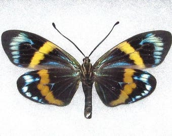 ONE Real Butterfly Blue Eterusia Repleta Day Flying Moth
