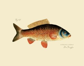 """Vintage Fish """"Der Karpfen"""" Print 8x10 P189"""