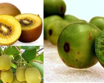 Hardy Kiwi Actinidia Arguta (50 SEEDS) OR Golden Kiwi Fruit (Actinidia chinensis) Organic (50 SEEDS)