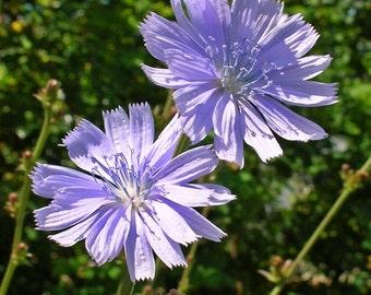 Chicory Herb Seeds (Cichorium Intybus) 200+Seeds
