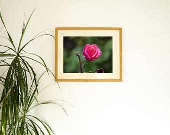 Pink rose photo print