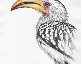 Yellow Bill Hornbill Bird Print