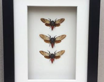 CICADAS  . Three real Cicadas (Huechys Incarnata) framed in a Black shadow box , Part of my framed CICADA collection
