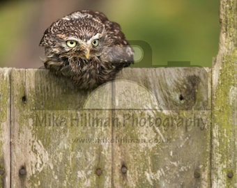"""Mounted Photographic Display Print - Little Owl #1 (A4 print in 14"""" x 11"""" Mount, Unframed)"""