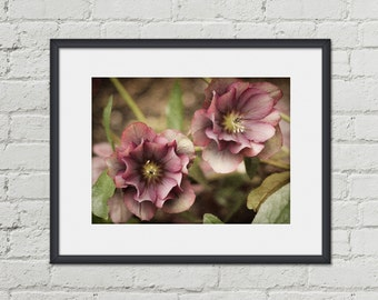 Floral Wall Decor - Bedroom Decor - Hellebore Photo Print - 8x10 Floral Photography - Botanical Art Print - Winter Garden - Pink Flowers
