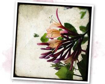 Honeysuckle - Nature - photo art signed 20x20cm