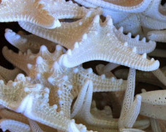 "50 pcs 3-4"" White Knobby Starfish"