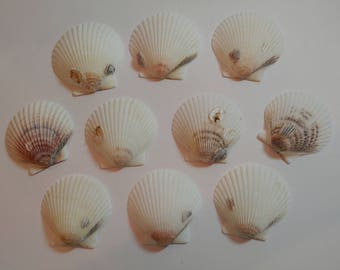 Scallop Shells - From Crystal River, FLorida - Freshly Caught by me - Shells - Seashells - White Seashells - 10 Natural Shells  #127