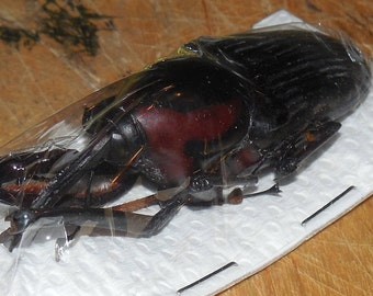 Cyrtotrachelus dux Long Armed Snout Beetle Real Insect Taxidermy Fast Ship U.S. SELLER