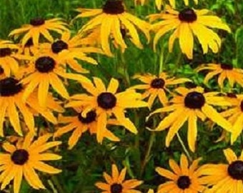 5,000 Black Eyed Susan Seeds