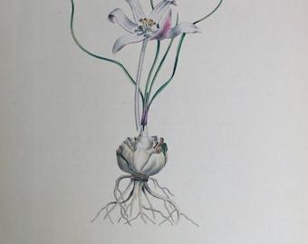 Botanical print Vintage Flower print Gethyllis Spiralis botanical floral art illustration